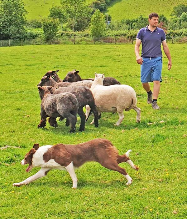 have a go at working a sheep dog with Ross Games and Good Day Out