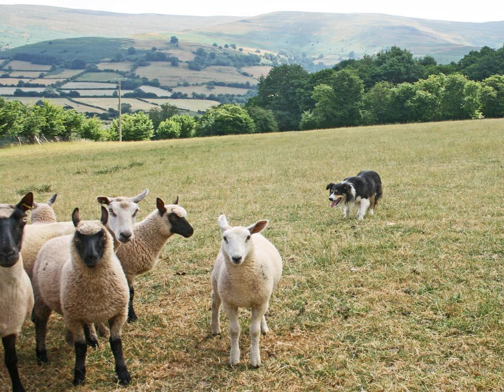 sheepdog training in wales
