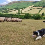 work with a sheep dog in the brecon beacons