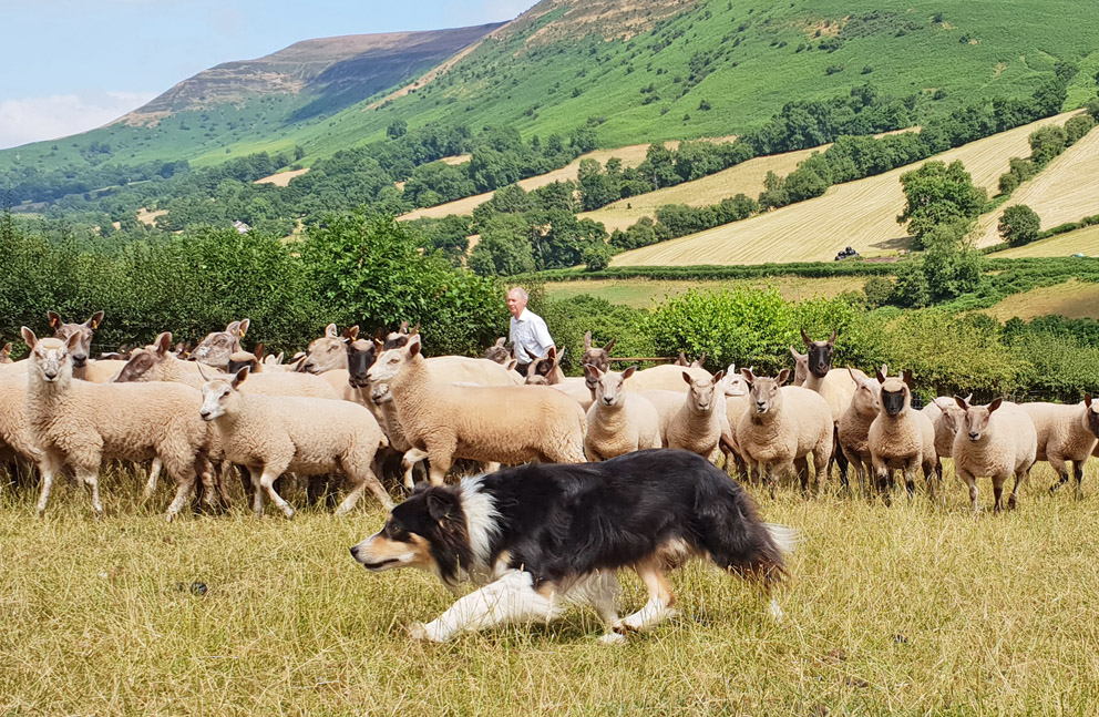 sheep dog experience day wales