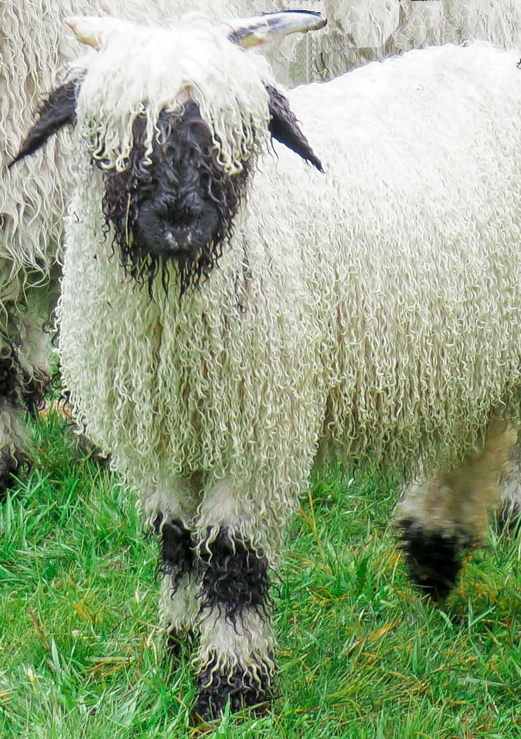 walk a valais blacknose wheep in wales