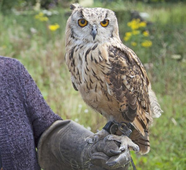 owl handling and flying with good day out and Lewis Phillips