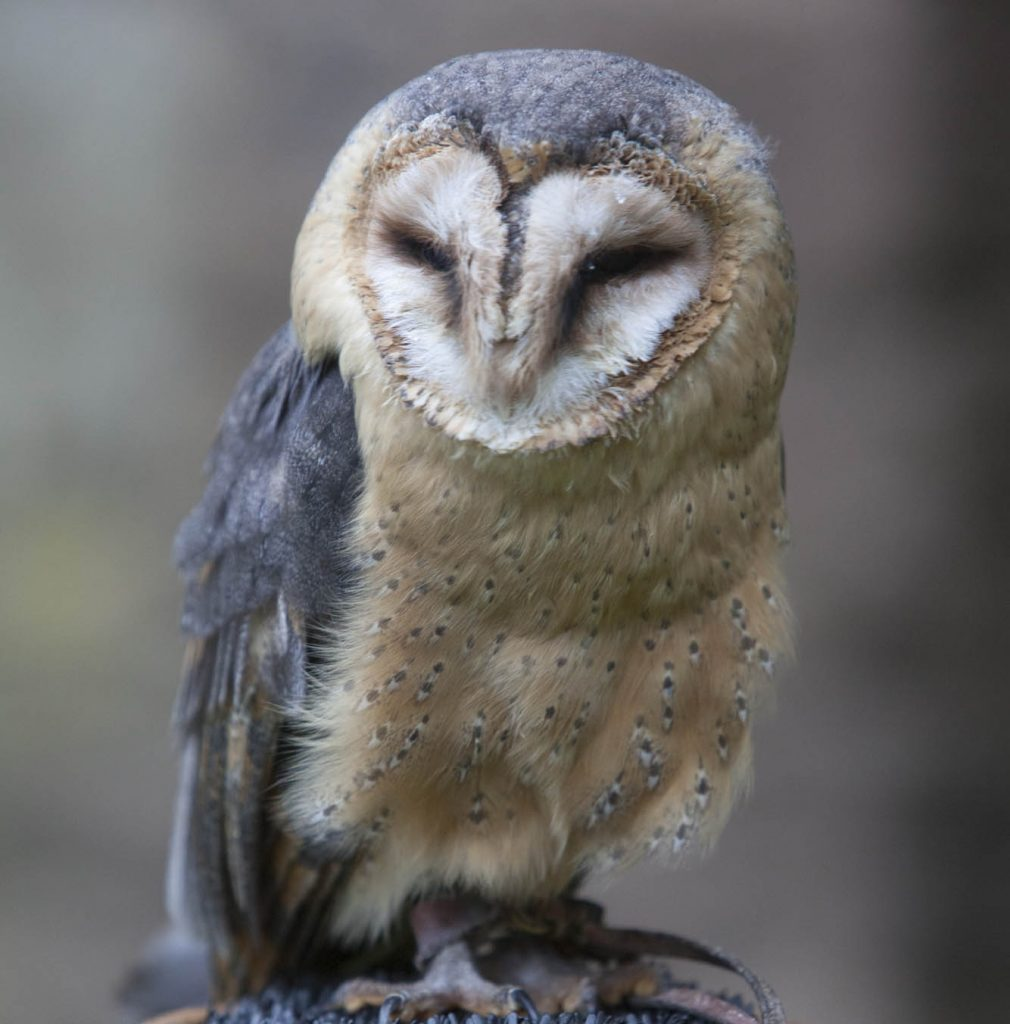 Good Day Out Owl Encounter barn owl