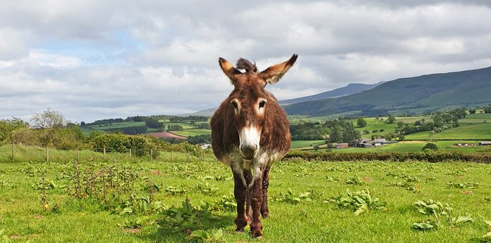 bladder stone in a donkey