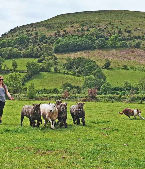 have a go at moving sheep with a dog