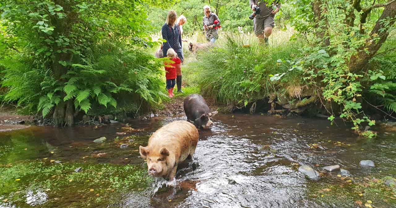 Swim with pigs in the Bahamas? PAH! Paddle with Pigs in Wales