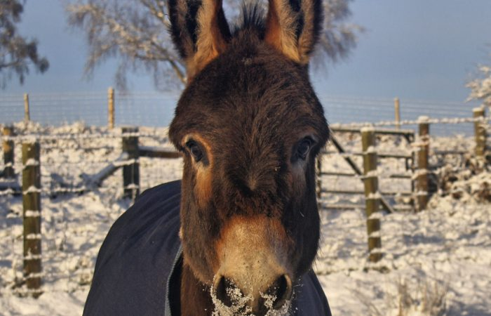 snow in the brecon beacons with Maverick the mini donkey