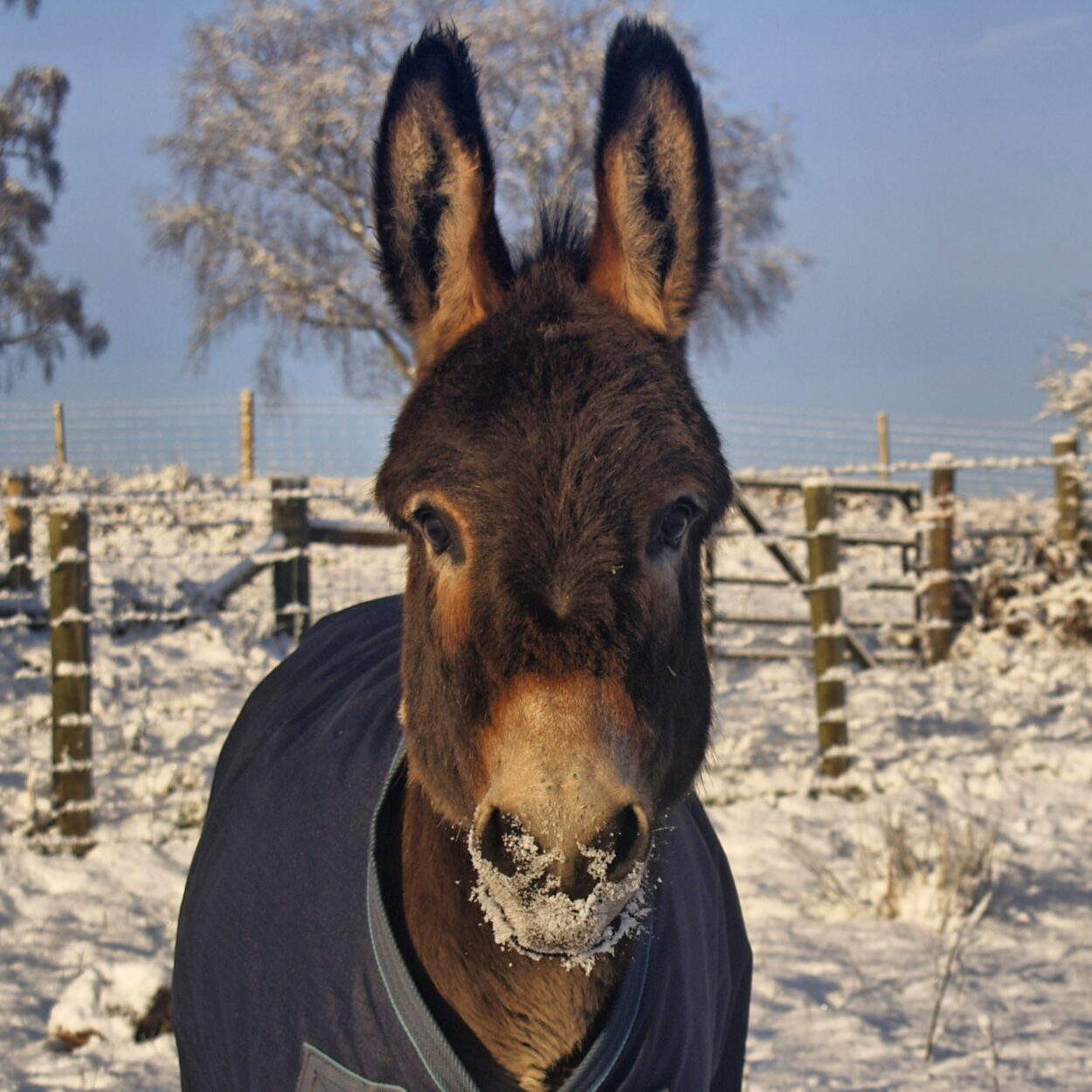 snow in the brecon beacons with Maverick the mini donkey