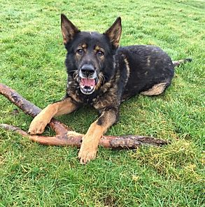 RPD Ben retired police dog helped by Retiremutt charity