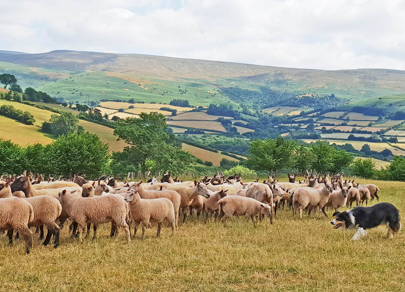sheep dog experience day in Wales