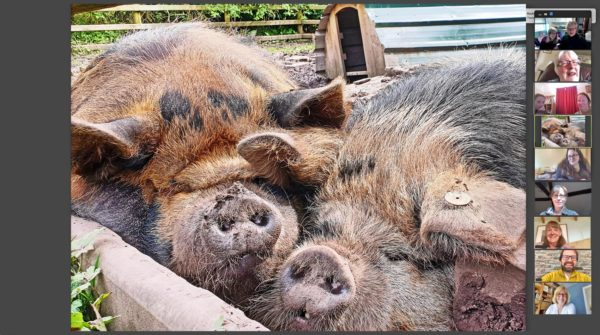 book a snoozing pig for your zoom meeting