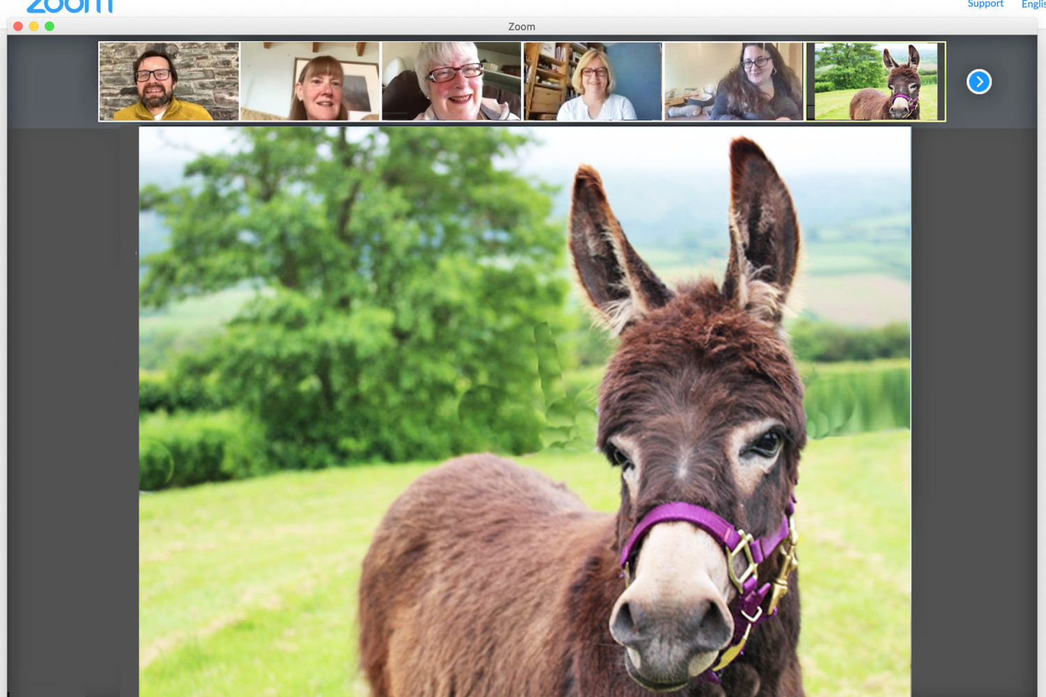 have fun at your Zoom meeting with a mini donkey attending
