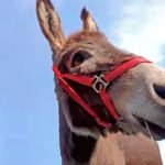 mini donkey crashes zoom meetings