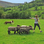 learn how to move sheep with a sheepdog and have a go with good day out